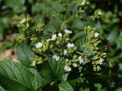 Stevia as Table Sugar Substitute?