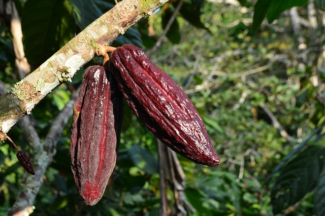 cocoa chocolate fun facts